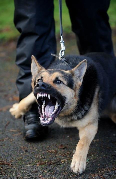 dangerous aggressive dog