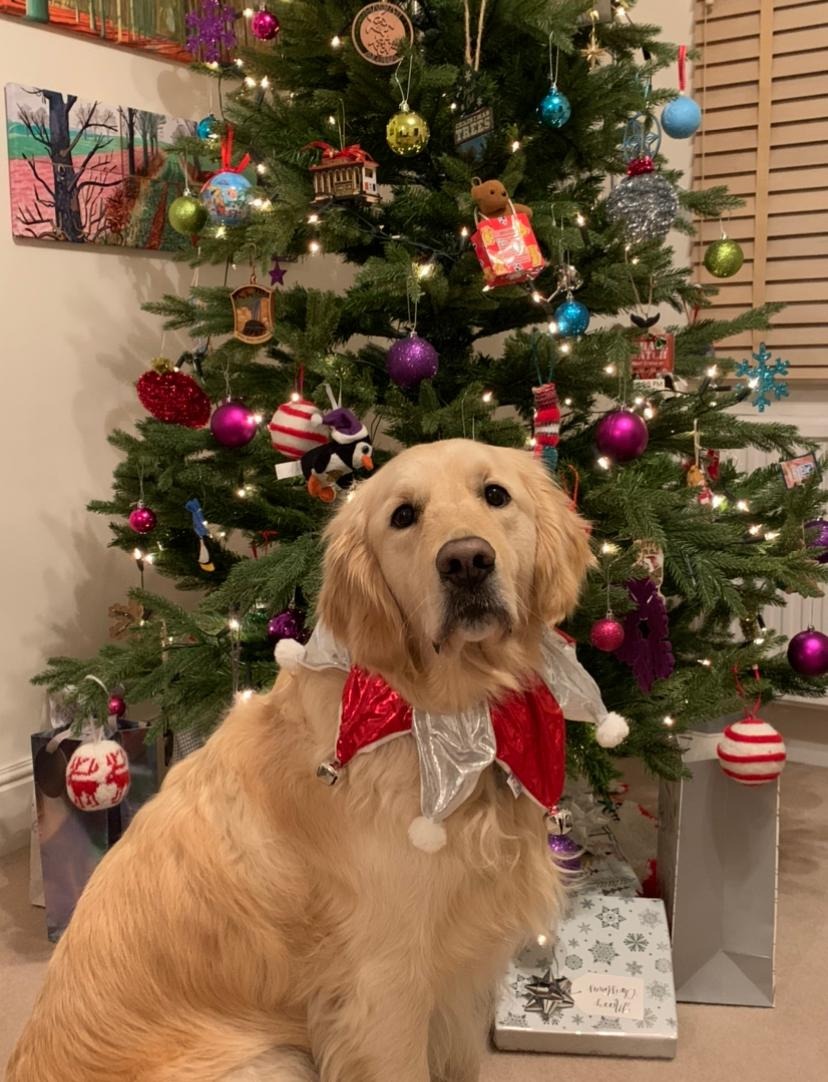 buddy doing sit & stay by christmas tree