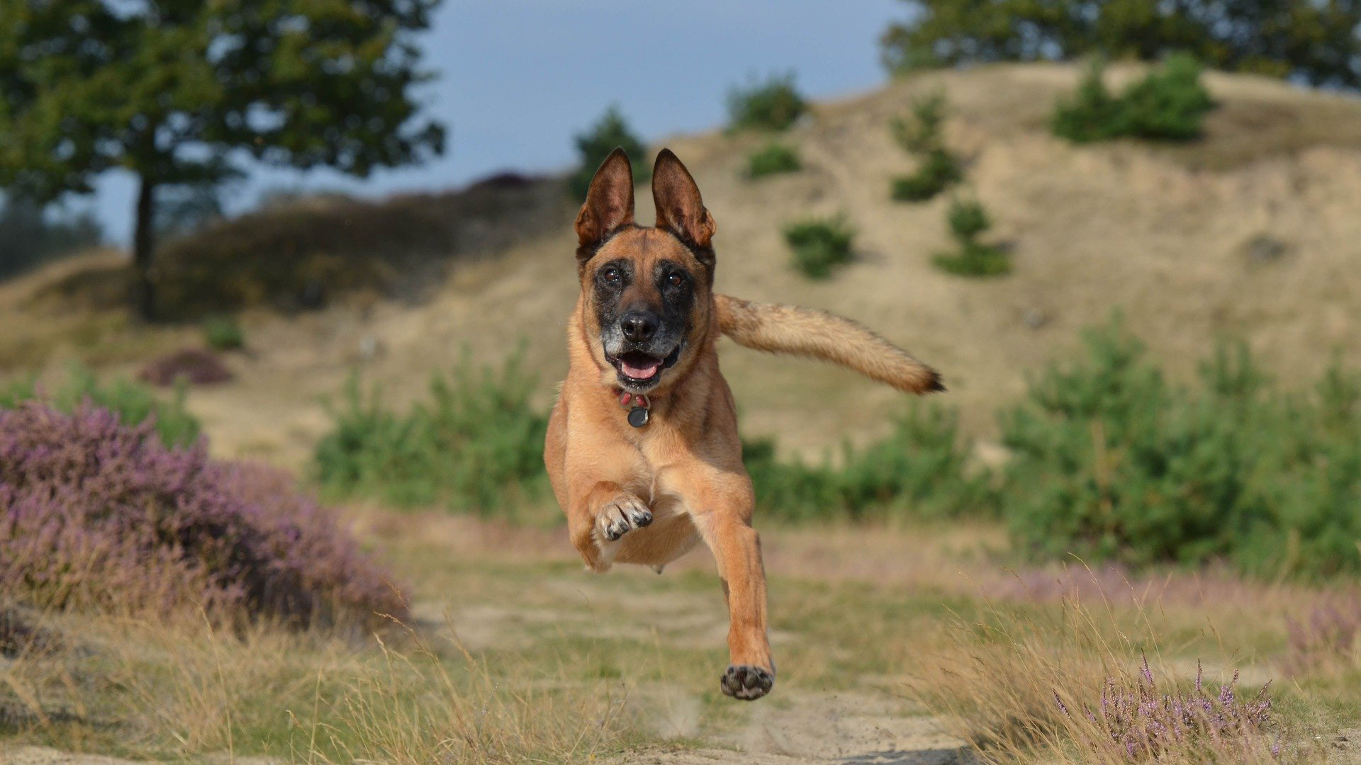 over socialised dog - malinois