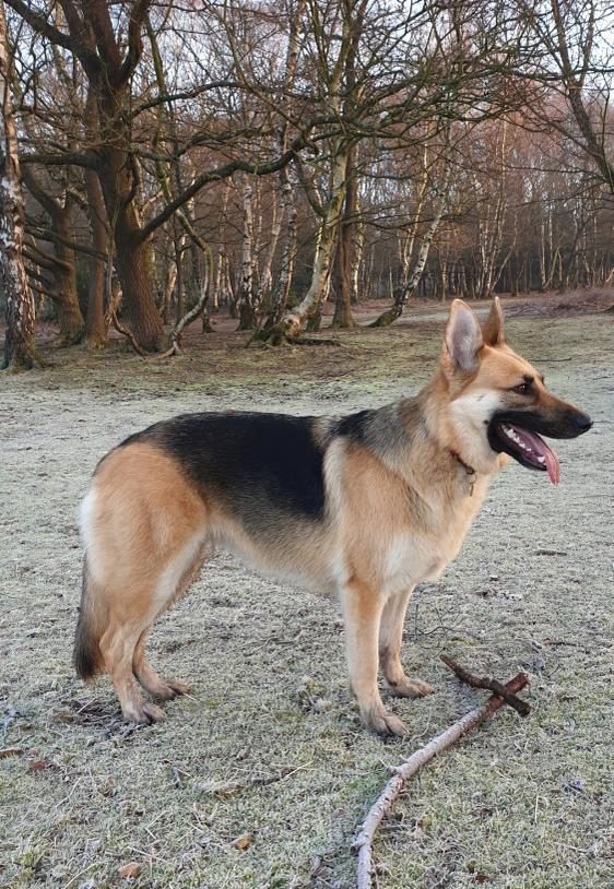 Amar's German Shepherd Dog Akela